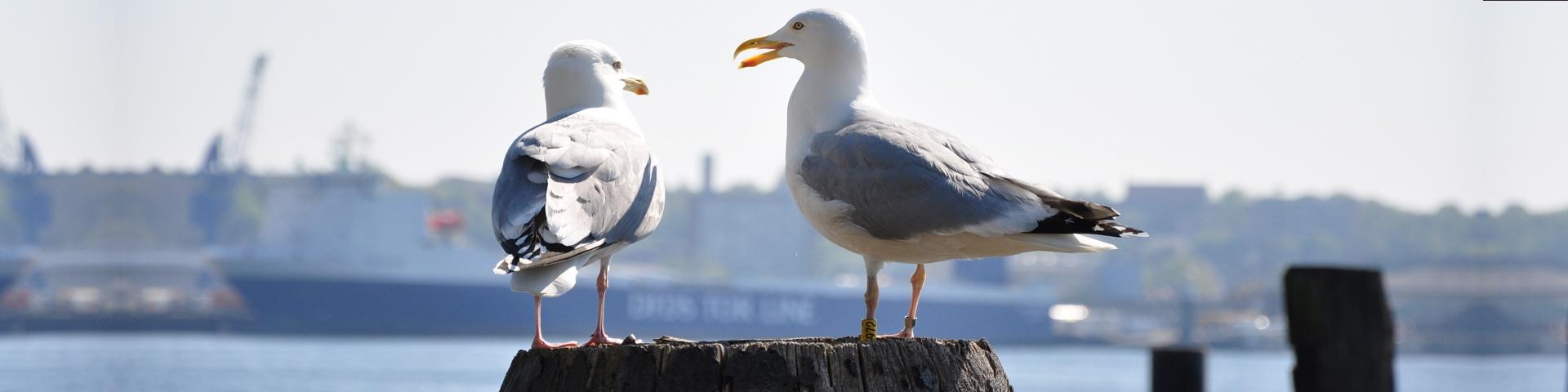 To måger i solskinsvejr ved havn