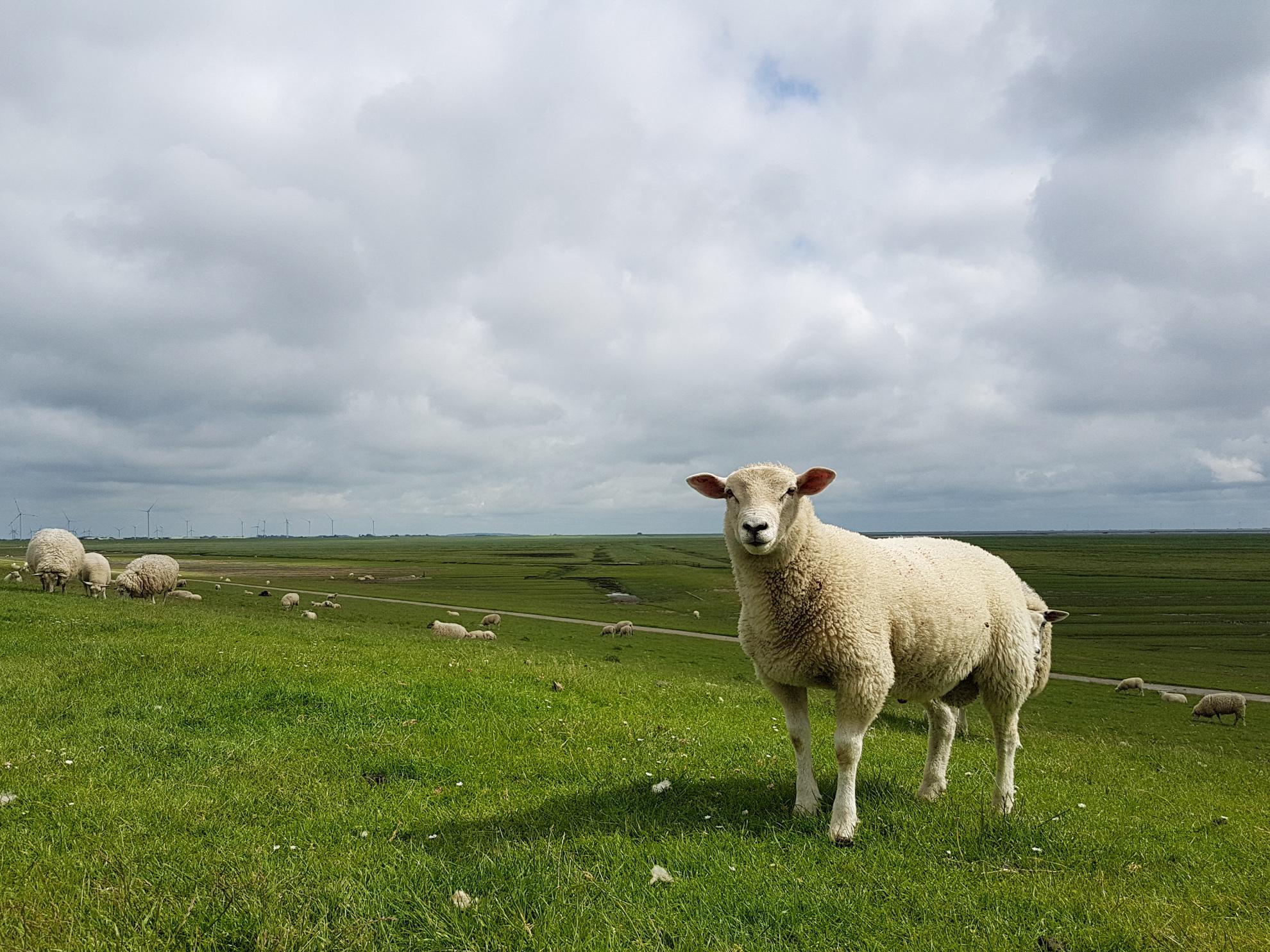 Schaf in Nordfriesland